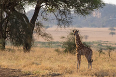 I am VERY important... (Ring a Ding Ding) Tags: africa apoka giraffacamelopardalisrothschildi kideponationalpark uganda baby endangered giraffe hope mammal nature safari wildlife dodoth northernregion