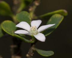 Wax Flower (Philotheca obovalis) ([S u m m i t] s c a p e) Tags: bluemountains clifftoptrack katoomba leura philothecaobovalis rutaceae nativeplants threatenedspecies white winter