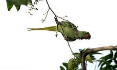 Rose-ringed Parakeet (Subh@sish) Tags: nikon d5300 parrot parakeet roseringed coochbehar tamron18200 acrobat eating berries white back ground