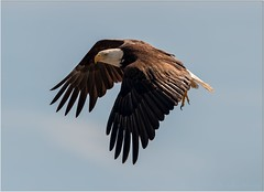 Bald Eagle (Pius Sullivan) Tags: eagle bald nature outdoors wild wildlife flight raptor