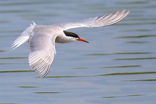 Common Tern (Explored #6 - 06-07-17 but invite bot not working)