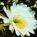 J20170622-0039—Echinopsis spachiana—DxO