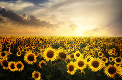 Sunset (Nikko  Thanks +500.000 view) Tags: sunset flowers sunflower provence france valensole june summer