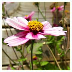 Pink'touch (Esteban 86360) Tags: fleur flower plante flore jardin nature macro pollen pétale rose purple pink green vert tige france poitou montamise montamisé vienne
