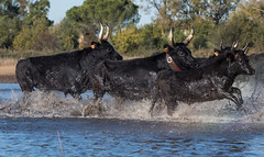 2016 Best Bulls in Camargue (1) (maskirovka77) Tags: vauvert languedocroussillonmidipyrén france languedocroussillonmidipyrénées fr