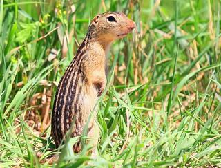 thirteen-lined ground squirrel near Hayden Prairie State Preserve IA 854A8254