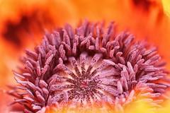 *** (pszcz9) Tags: przyroda nature natura zbliżenie closeup macro makro kwiat flower mak poppy bokeh beautifulearth sony a77