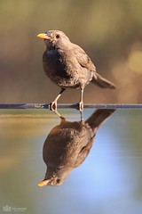Blackbird (fran-asensio) Tags: blackbird avenatural avealamanecer mirrorbird reflejodeave mirlohembra turdusmerula