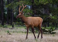 Elk ( CAN_2351) (ronnie.savoie) Tags: canada elk fauna northamerica jasper jaspernationalpark rockies wildlife canadianrockies rockymountains