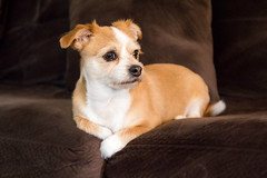 Nothing beats your own couch! (Lee of Western PA) Tags: cute dog sigma canon couch pet mutt canine eyes adorable little chihuahua sofa