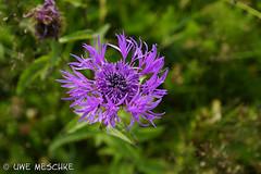Wiesenflockenblume (binax25) Tags: wiesenflockenblume blume flower pflanze plant lila violett wiese sommer natur blüte