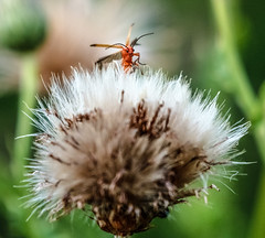 Peek a boo (I was blind now I see!) Tags: bug bugsl flower head dandellion nature wings insect bokeh games playing eyes flying jumping ngc