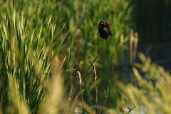 Thrust of wings (dylan583) Tags: bird birding telephoto sonya700 tamronsp45670300usd slough wetland canada flying sonydslra700 sonyalpha green greenery