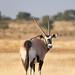 Gemsbok (Oryx) @Kgalagadi Transfrontier Park