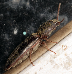 12.2 mm click beetle (ophis) Tags: coleoptera polyphaga elateriformia elateroidea elateridae dendrometrinae dendrometrini dendrometrina limonius limoniusgriseus clickbeetle