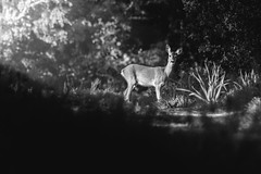 The magic of morning light (rom_guerin) Tags: roe deer morning light wild wildlife nature blackandwhite animal forest magic beauty outdoor
