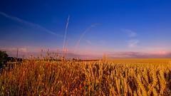 Twilight - 3304 (YᗩSᗰIᘉᗴ HᗴᘉS +6 500 000 thx❀) Tags: twilight crépuscule blé épi nature bluesky prairie champs campagne campaign leica leicaq hensyasmine landscape