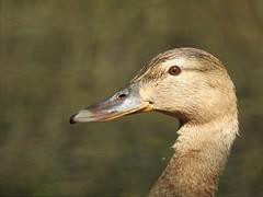 Just a duck (PhotoLoonie) Tags: duck mallard wildlife nature closeup portrait