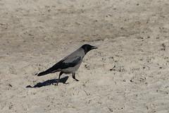 Nebelkrähe auf dem Weg zum Wasser (julia_HalleFotoFan) Tags: rügen ostsee nebelkrähe aaskrähe corvuscorone rabenvogel