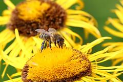 bee at work (dr.larsbergmann) Tags: thebeautyofnature nature naturemasterclass photography photo