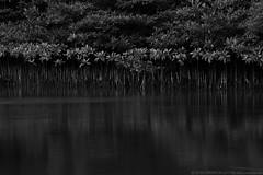 Sabanggan Mangroves (Bong Manayon) Tags: bongmanayon pentaxk3 pentax k3 mangroves alaminos pangasinan philippines