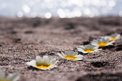 #margaritas #daisies #flores #flowers #2016 #desembocaduradelguadalhorce #málaga #españa #spain #primavera #spring #mar #sea #mediterráneo #arena #sand #naturaleza #nature #paisaje #landscape #photography #photographer #picoftheday #sonystas #sonyimages # (Manuela Aguadero) Tags: landscape mar flores españa sonystas 2016 sonya350 sonyimages nature daisies spain sand picoftheday sea photography mediterráneo arena sonyalpha sonyalpha350 paisaje spring photographer alpha350 margaritas naturaleza málaga flowers primavera desembocaduradelguadalhorce