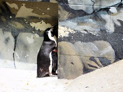 SHY PENGUIN HIDES BEHIND THE WALL (Visual Images1) Tags: hww wallwednesday penguin zoo rosspark binghamton e