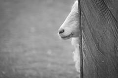 Peekaboo II (Fujibert) Tags: animal event gemütsstimmung hmbt heiter schaf schwarzweis stil style tier veranstaltung wildpark flickr