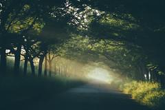 苦楝樹隧道|嘉義 (里卡豆) Tags: olympus epl8 75mm f18 神之光 chiayi 嘉義 taiwan 台灣 olympus75mmf18 日出 sunrise sunlight light