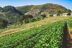 strawberry farm (Flutechill) Tags: nature beautyinnature natural landscape exploration travel thailand tourist trees forest farm field mountain mountains layer skyline chiangmai valley agriculture landmark