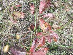 Autumn, Wisconsin. Poison Ivy??? (yusuf a. dadabhoy) Tags: wisconsin autumn poisonivy poison ivy 2016 red