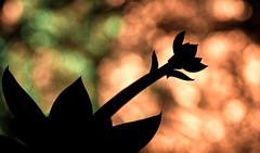 oh so succulent (LoomahPix) Tags: bokeh closeup d750 flickr flora green macro macromondays macrophotography natural nature nikon orange organic plant silhouette macrodreams strobist
