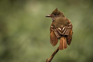 Great-crested Flycatcher | Myiarchus crinitus | Tyran huppé