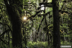 Quinault Rainforest (Thomas Schoeller Photography) Tags: aldertrees rainforest washington washingtonstate quinaultrainforest beardedclubmoss hoh pacificnorthwest olympicnationalpark olympicpeninsula starburst sunrisepoint mossy luminouslight illuminated intimatelandscapes swordferns forested mysterious mystical sitkaspruce westernusa westernhemlocks