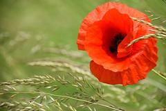 Rouge coquelicot (Croc'odile67) Tags: nikon d3300 sigma contemporary 18200dcoshsmc paysage landscape fleurs flowers coquelicots pavots poppies rouge