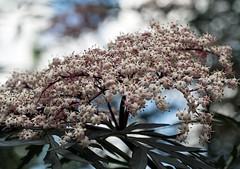 Blooming bokeh. (S.K.1963) Tags: elements flower japanese maple acer olympus omd em1 bokeh dof 60mm