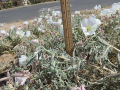 Rinnie_8280 (dimensions of biodiversity) Tags: oenothera californica californicaavita california yucca valley joshuatreelane rinnie 2017 yuccavalley