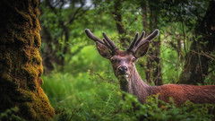 Young and free.... (Einir Wyn Leigh) Tags: landscape deer fauna wildlife nature natural forest animal outside scotland uk nikon happy beautiful colours wilderness love trees green foliage leaf blur