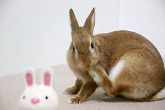 Ichigo san 744 (Ichigo Miyama) Tags: いちごさん。うさぎ ichigo san rabbit うさぎ netherlanddwarfbunny netherlanddwarf brown ネザーランドドワーフ ペット いちご