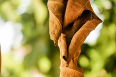 Grapes Leaf (Abderraouf Cheniki) Tags: leaf green grapes sony nex 5t dead
