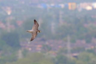 Peregrine falcon, female (Manchester) 9P1A249A