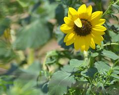 A Little Wave (sundero) Tags: texas flower browneyedsusan westtexas wildflower