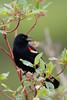 _53F9423 Red-winged Blackbird (~ Michaela Sagatova ~) Tags: redwingedblackbird birdphotography canonphotography michaelasagatova