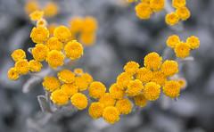 Tanacetum (Francis Mansell) Tags: flower plant tanacetum tansy kewgardens kew royalbotanicgardenskew macro