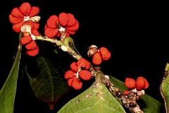 Glochidion ferdinandi var. ferdinandi (andreas lambrianides) Tags: glochidionferdinandivarferdinandi cheesetree phyllanthaceae australianflora australiannativeplants australianplants australianrainforests australianrainforestplants nswrfp qrfp warfp arffs redarffs australianrainforestfruitsandseeds australianrainforestseeds australianrainforestfruits