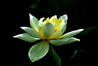 DSC_0027 Lotus