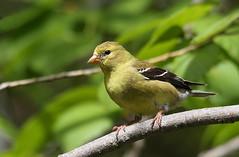 IMG_3382 Chardonneret jaune, Roberval (joro5072) Tags: animal nature oiseau bird chardonneret goldfinch