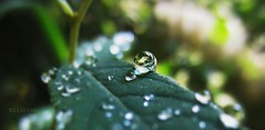 The little snail (nathaliedunaigre) Tags: drops likealittlesnail commeunpetitescargot gouttes gouttelettes macro nature leaves water
