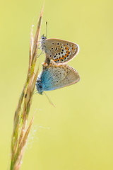 Argus bleu (Polyommatus icarus) (aurelien.ebel) Tags: alsace animal argusbleu basrhin france gambsheim insecte lycaenidae papillondejour polyommatinae polyommatusicarusrottemburg 1775 rhopalocères