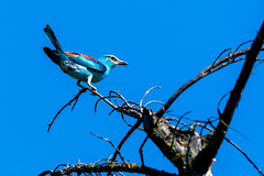 Rollier d'Europe - Coracias garrulus (rom_guerin) Tags: rollier europe coracias garrulus lunch time sky tree bird oiseau ciel branches colors wild wildlife nature beauty